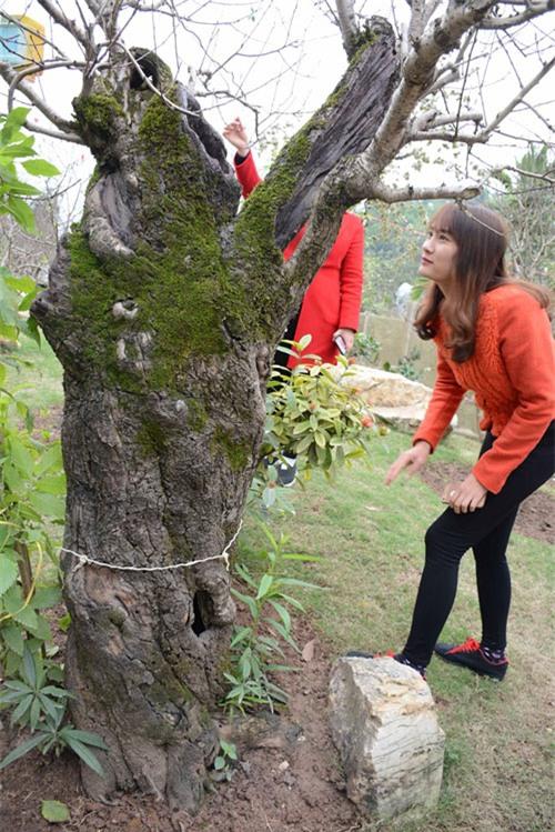 đào cổ, vườn đào, đào Tết, chơi cây, cây cảnh