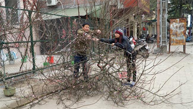 Trước Tết 2 tuần: Đào rừng đổ bộ phố Thủ đô, thét giá chục triệu