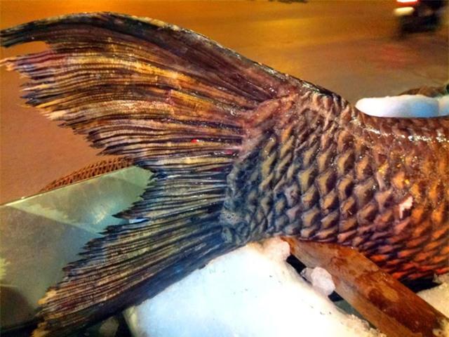 Phần đuôi cá hô