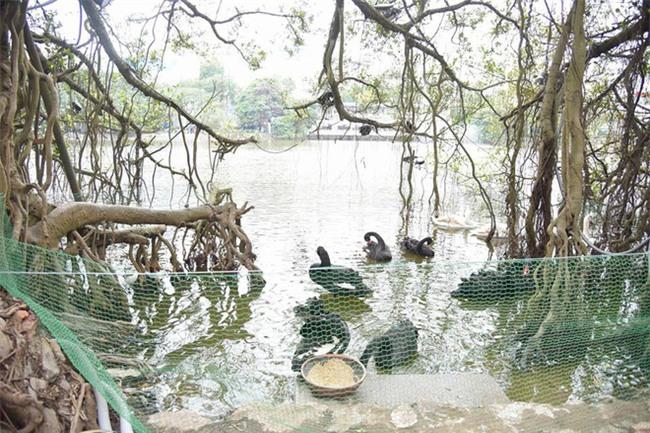 Hà Nội thả đàn thiên nga đen và trắng ở Hồ Gươm - Ảnh 1.