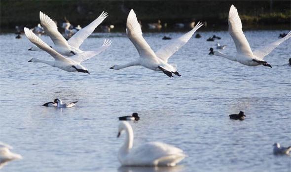 Anh: Ô tô cũng phải lùi bước trước thiên nga - loài chim quốc gia được chính Nữ hoàng bảo hộ - Ảnh 5.