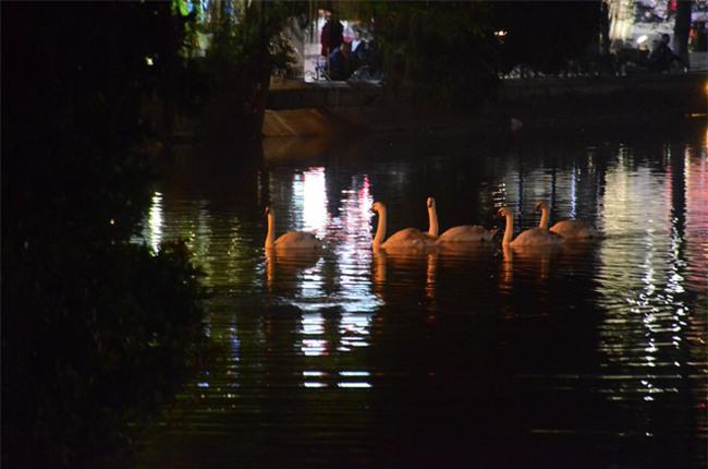 Được di chuyển khỏi Hồ Gươm trong đêm, đàn thiên nga bất ngờ tung tăng bơi lội ở hồ Thiền Quang - Ảnh 1.
