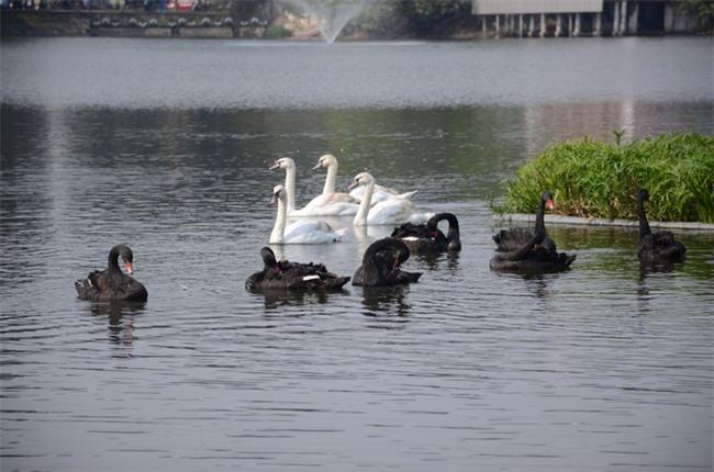Được di chuyển khỏi Hồ Gươm trong đêm, đàn thiên nga bất ngờ tung tăng bơi lội ở hồ Thiền Quang - Ảnh 2.