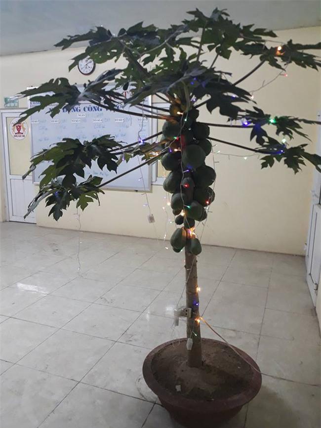 Được sếp giao nhiệm vụ mua đào, quất cho công ty, nhân viên tiếc tiền, đi xin nguyên cây đu đủ về trưng Tết - Ảnh 1.