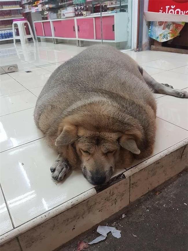 Chú chó gây hoang mang nhất ngày: Mập đến nỗi nhìn mãi không biết đây là chó hay lợn - Ảnh 1.