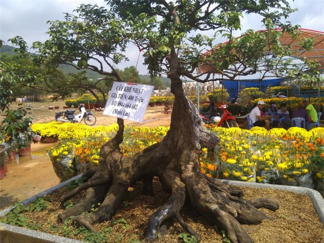cây cảnh,chơi cây,cây cảnh tiền tỷ,hoa Tết
