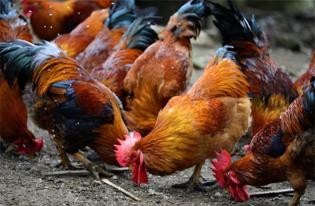 Dù là gà sống hay gà đã làm thịt, chọn thế này là trăm con ngon như một - Ảnh 1.