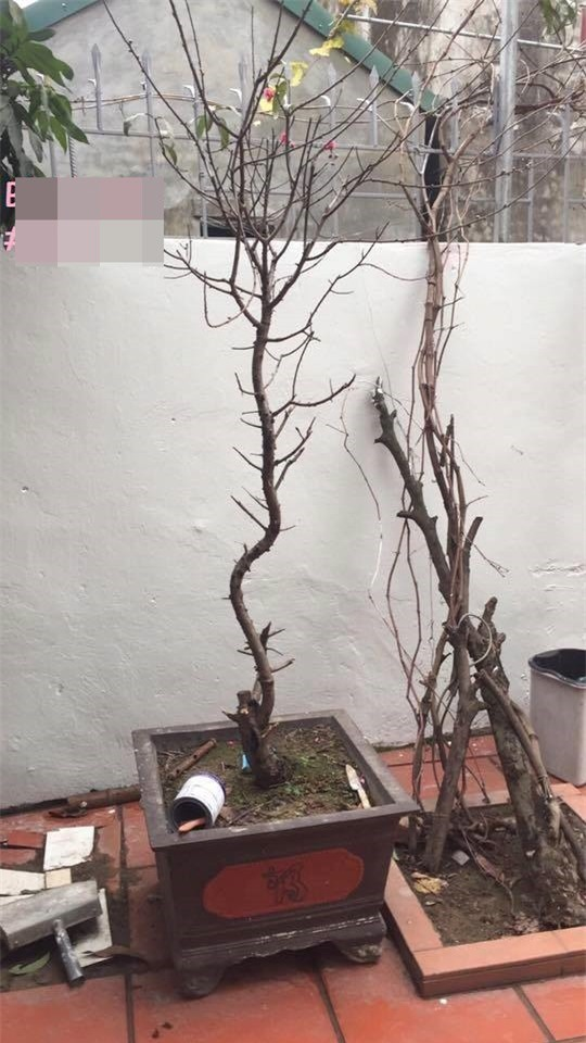 Đu đủ nguyên cây, chậu súp lơ - những cây cảnh khiến người ta khóc thét trong ngày Tết - Ảnh 10.