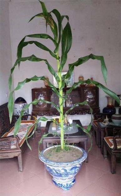 Đu đủ nguyên cây, chậu súp lơ - những cây cảnh khiến người ta khóc thét trong ngày Tết - Ảnh 2.
