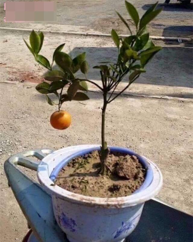 Đu đủ nguyên cây, chậu súp lơ - những cây cảnh khiến người ta khóc thét trong ngày Tết - Ảnh 7.