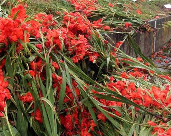 Hà Nội: Hoa tươi bằng 1/10 so với trước Tết, dân buôn vứt đổ đống tại chợ Quảng An - Ảnh 4.