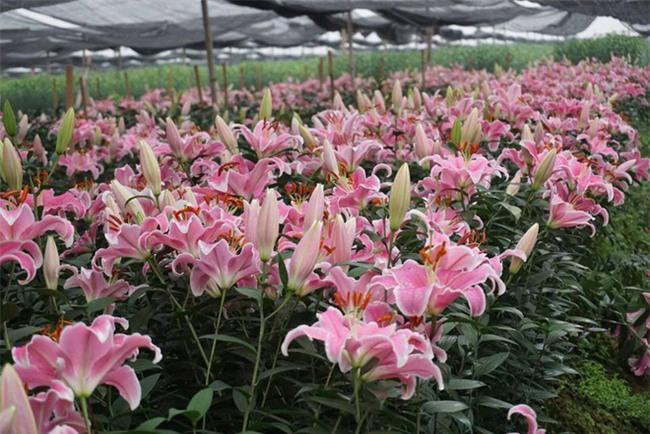Hà Nội: Nông dân Tây Tựu ngậm ngùi nhìn hoa ly tàn đúng lúc tăng giá - Ảnh 2.