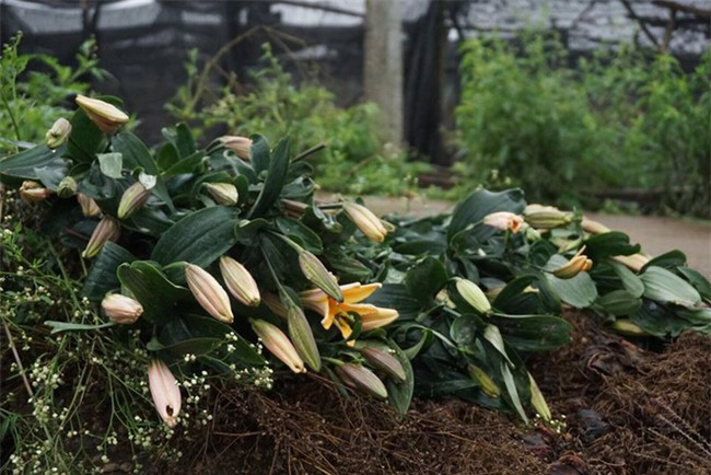 Hà Nội: Nông dân Tây Tựu ngậm ngùi nhìn hoa ly tàn đúng lúc tăng giá - Ảnh 12.