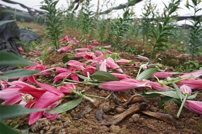 Hà Nội: Nông dân Tây Tựu ngậm ngùi nhìn hoa ly tàn đúng lúc tăng giá - Ảnh 3.