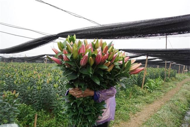 Hà Nội: Nông dân Tây Tựu ngậm ngùi nhìn hoa ly tàn đúng lúc tăng giá - Ảnh 8.