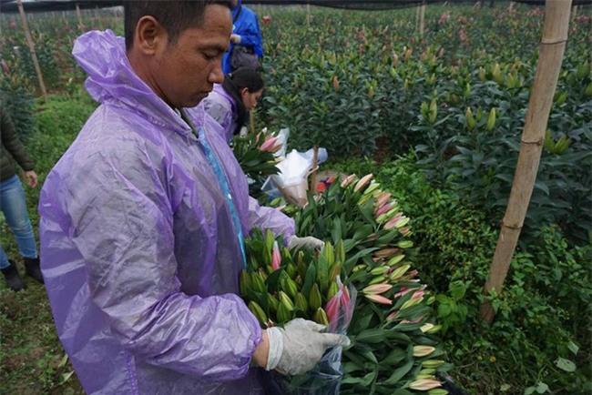 Hà Nội: Nông dân Tây Tựu ngậm ngùi nhìn hoa ly tàn đúng lúc tăng giá - Ảnh 9.