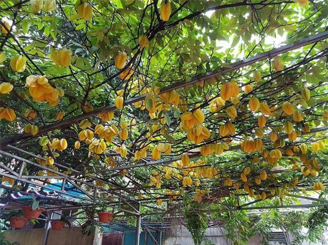 Dân mạng ứa nước miếng với cây khế khổng lồ hàng nghìn quả vàng ươm lúc lỉu trên cành - Ảnh 2.