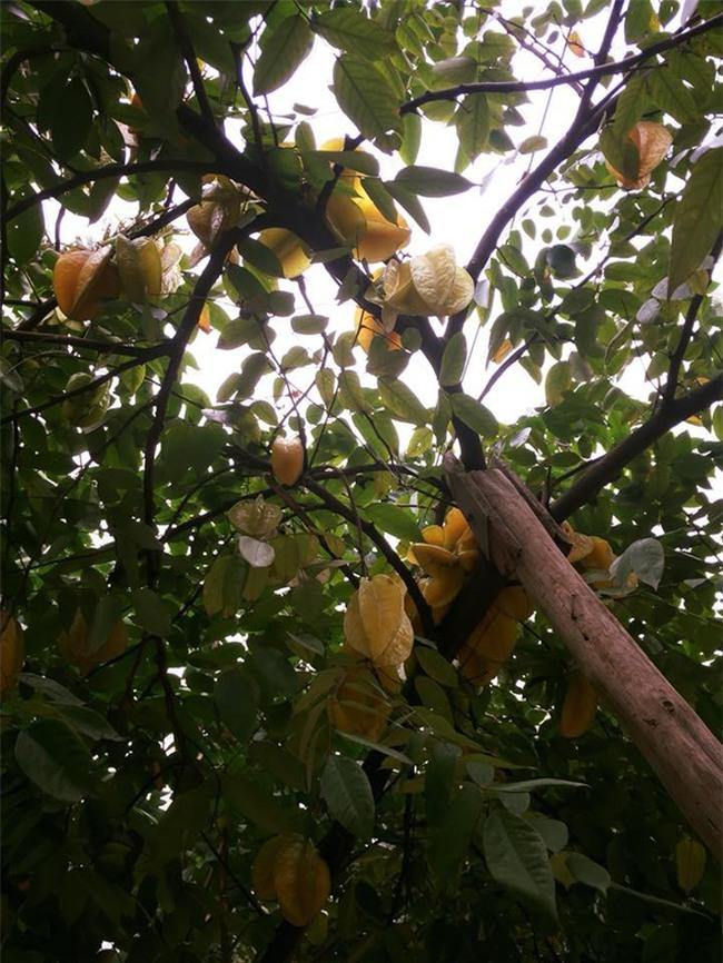 Dân mạng ứa nước miếng với cây khế khổng lồ hàng nghìn quả vàng ươm lúc lỉu trên cành - Ảnh 4.