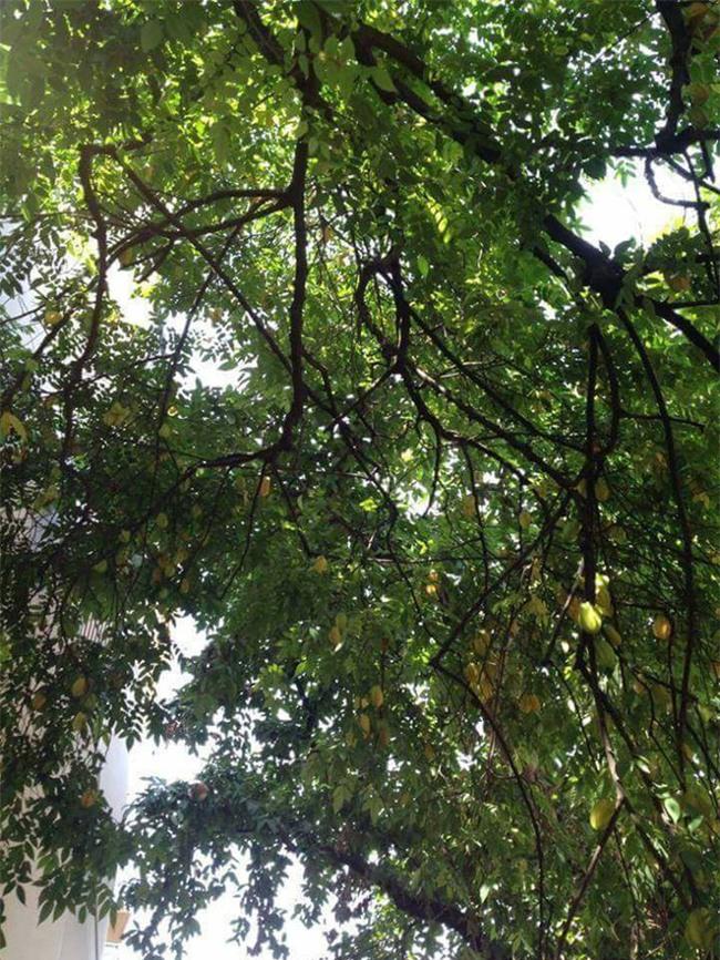 Dân mạng ứa nước miếng với cây khế khổng lồ hàng nghìn quả vàng ươm lúc lỉu trên cành - Ảnh 5.