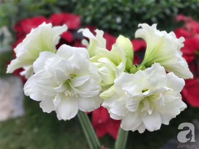 Khu vườn có đến hơn 300 gốc hoa Lan huệ đẹp như chốn thiên đường của người phụ nữ Hà Thành - Ảnh 12.