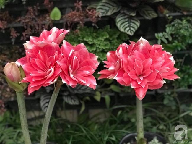 Khu vườn có đến hơn 300 gốc hoa Lan huệ đẹp như chốn thiên đường của người phụ nữ Hà Thành - Ảnh 16.
