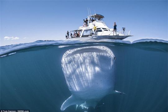 """Độc đáo hình ảnh cá nhám voi """"đội"""" thuyền trên đầu - Ảnh 2."""