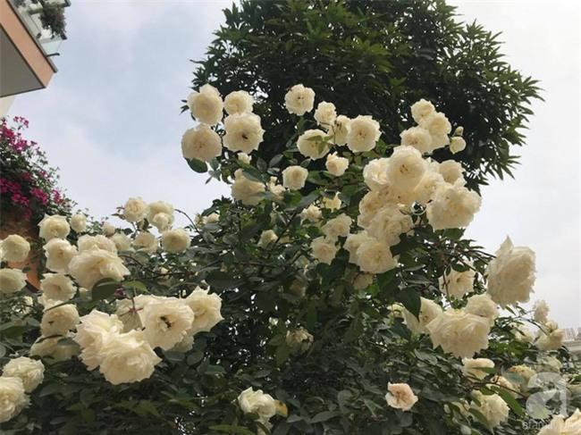Ngày 8/3 cùng ngắm cây hồng bạch nở hàng trăm bông của người phụ nữ dành trọn niềm đam mê cho hoa ở Thái Nguyên - Ảnh 10.