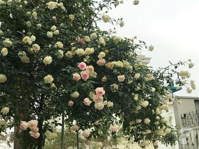 Ngày 8/3 cùng ngắm cây hồng bạch nở hàng trăm bông của người phụ nữ dành trọn niềm đam mê cho hoa ở Thái Nguyên - Ảnh 11.
