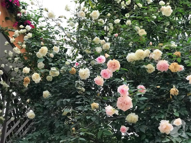 Ngày 8/3 cùng ngắm cây hồng bạch nở hàng trăm bông của người phụ nữ dành trọn niềm đam mê cho hoa ở Thái Nguyên - Ảnh 12.