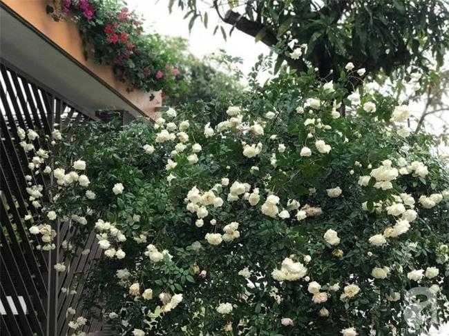Ngày 8/3 cùng ngắm cây hồng bạch nở hàng trăm bông của người phụ nữ dành trọn niềm đam mê cho hoa ở Thái Nguyên - Ảnh 13.