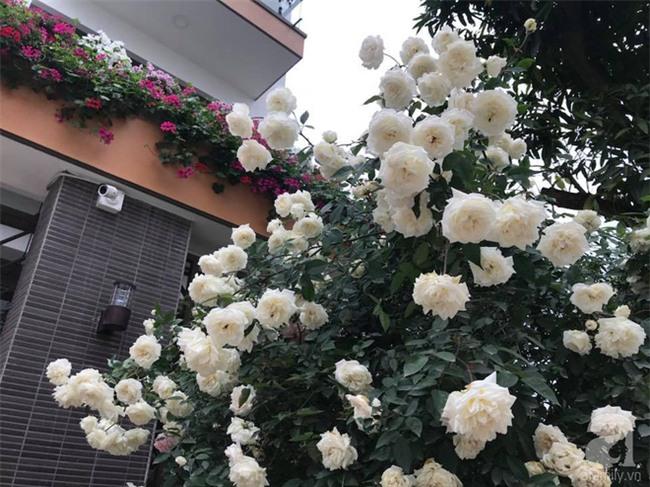 Ngày 8/3 cùng ngắm cây hồng bạch nở hàng trăm bông của người phụ nữ dành trọn niềm đam mê cho hoa ở Thái Nguyên - Ảnh 14.