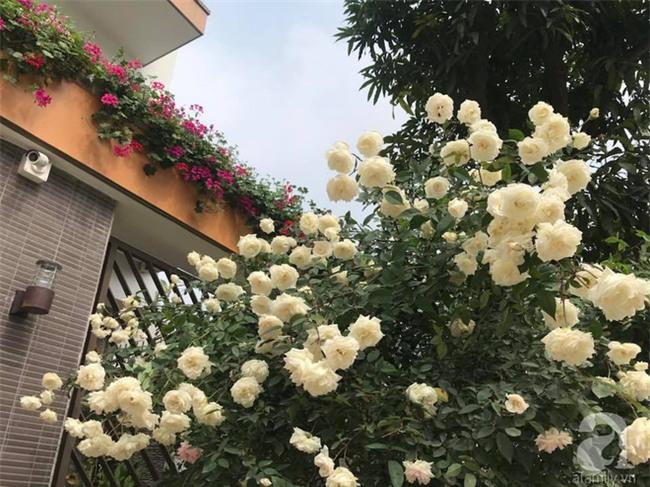 Ngày 8/3 cùng ngắm cây hồng bạch nở hàng trăm bông của người phụ nữ dành trọn niềm đam mê cho hoa ở Thái Nguyên - Ảnh 15.