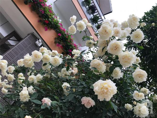 Ngày 8/3 cùng ngắm cây hồng bạch nở hàng trăm bông của người phụ nữ dành trọn niềm đam mê cho hoa ở Thái Nguyên - Ảnh 18.