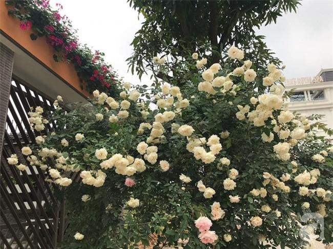 Ngày 8/3 cùng ngắm cây hồng bạch nở hàng trăm bông của người phụ nữ dành trọn niềm đam mê cho hoa ở Thái Nguyên - Ảnh 19.