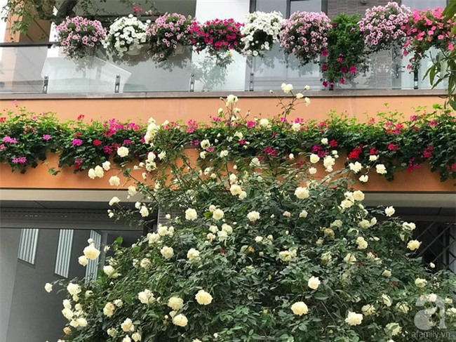 Ngày 8/3 cùng ngắm cây hồng bạch nở hàng trăm bông của người phụ nữ dành trọn niềm đam mê cho hoa ở Thái Nguyên - Ảnh 2.