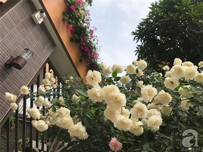 Ngày 8/3 cùng ngắm cây hồng bạch nở hàng trăm bông của người phụ nữ dành trọn niềm đam mê cho hoa ở Thái Nguyên - Ảnh 20.