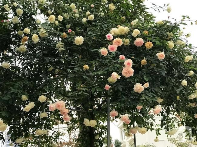 Ngày 8/3 cùng ngắm cây hồng bạch nở hàng trăm bông của người phụ nữ dành trọn niềm đam mê cho hoa ở Thái Nguyên - Ảnh 3.