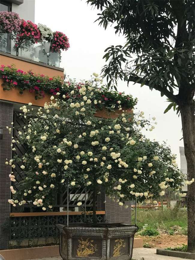 Ngày 8/3 cùng ngắm cây hồng bạch nở hàng trăm bông của người phụ nữ dành trọn niềm đam mê cho hoa ở Thái Nguyên - Ảnh 4.