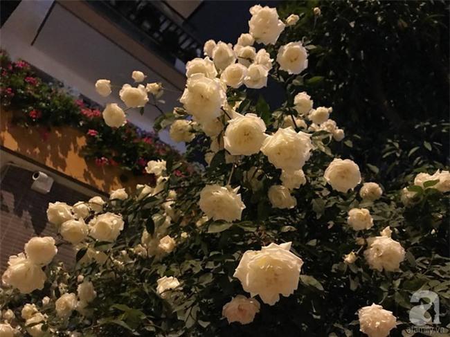 Ngày 8/3 cùng ngắm cây hồng bạch nở hàng trăm bông của người phụ nữ dành trọn niềm đam mê cho hoa ở Thái Nguyên - Ảnh 5.