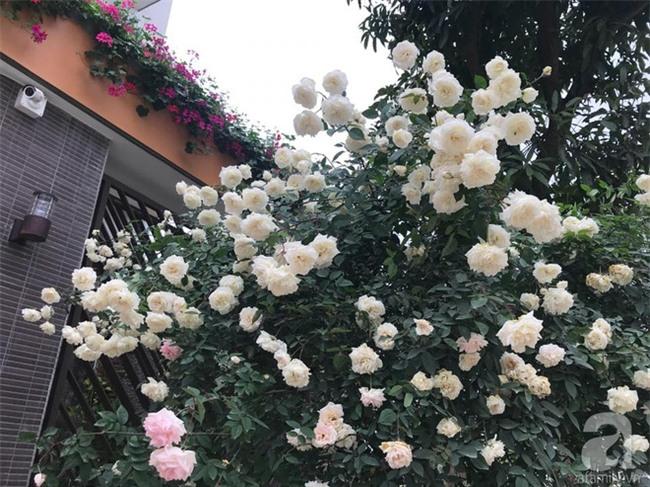 Ngày 8/3 cùng ngắm cây hồng bạch nở hàng trăm bông của người phụ nữ dành trọn niềm đam mê cho hoa ở Thái Nguyên - Ảnh 7.