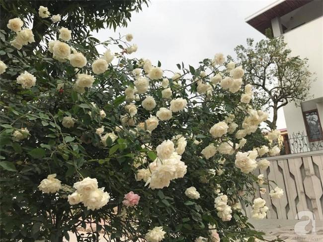 Ngày 8/3 cùng ngắm cây hồng bạch nở hàng trăm bông của người phụ nữ dành trọn niềm đam mê cho hoa ở Thái Nguyên - Ảnh 8.