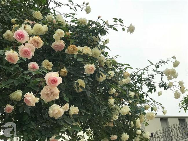 Ngày 8/3 cùng ngắm cây hồng bạch nở hàng trăm bông của người phụ nữ dành trọn niềm đam mê cho hoa ở Thái Nguyên - Ảnh 9.