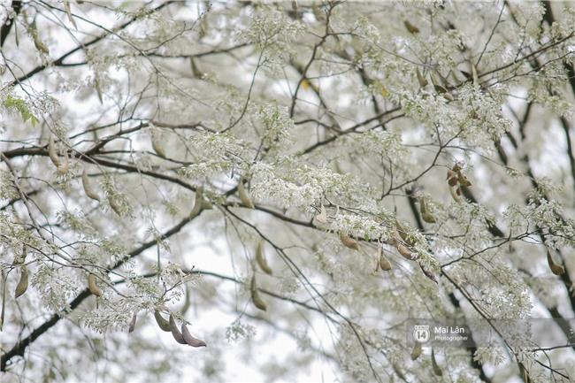 Chùm ảnh: Đây là Hà Nội, của những ngày trắng muốt hoa sưa... - Ảnh 2.