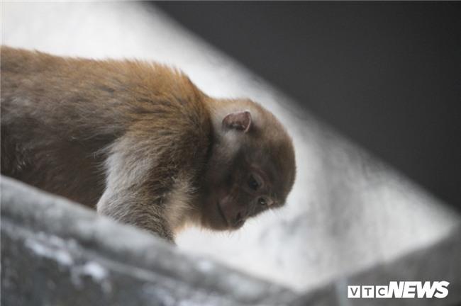 Nguồn gốc hai con khỉ hoang đang đại náo tổ dân phố ở Hà Nội - Ảnh 1.