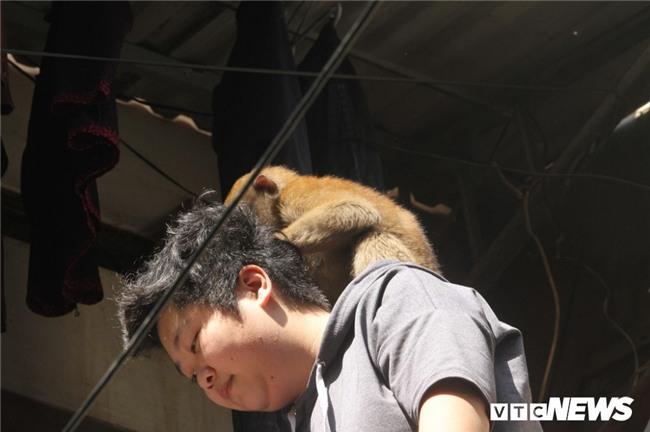 Nguồn gốc hai con khỉ hoang đang đại náo tổ dân phố ở Hà Nội - Ảnh 2.