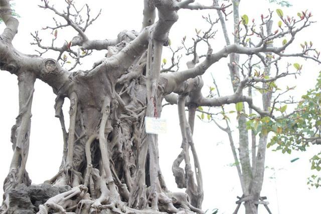 đa cổ,cây cảnh,siêu cây,chơi cây