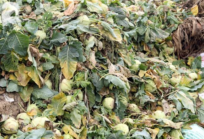 Hết củ cải Mê Linh, nông dân Hải Dương rớt nước mắt vứt hàng tấn su hào ven đường - Ảnh 10.
