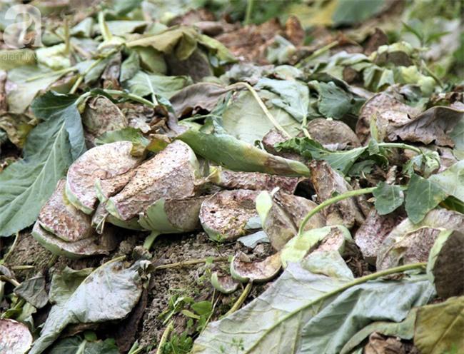 Hết củ cải Mê Linh, nông dân Hải Dương rớt nước mắt vứt hàng tấn su hào ven đường - Ảnh 11.