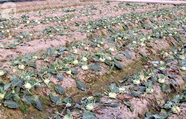 Hết củ cải Mê Linh, nông dân Hải Dương rớt nước mắt vứt hàng tấn su hào ven đường - Ảnh 3.