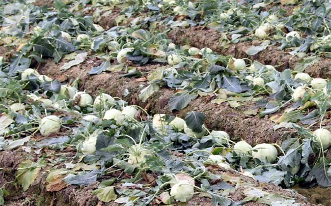 Hết củ cải Mê Linh, nông dân Hải Dương rớt nước mắt vứt hàng tấn su hào ven đường - Ảnh 4.